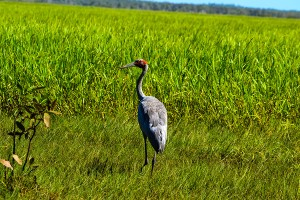Mary-River-NP, Brolga