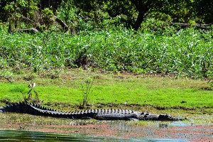 Mary-River-NP, Croc 2