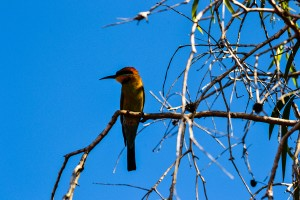 Mary-River-NP, Rainbow Bee-eater